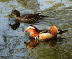 Reflected couple (langkawi) Tags: berlin bird duck couple langkawi mandarinduck enten tiergarten bunt naturesfinest gefieder mandarinenten abigfave theperfectphotographer vosplusbellesphotos