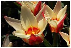 tulips (DLudovici-Dorothy) Tags: simplyflowers dorothyludovici