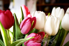 White & Pink Tulips