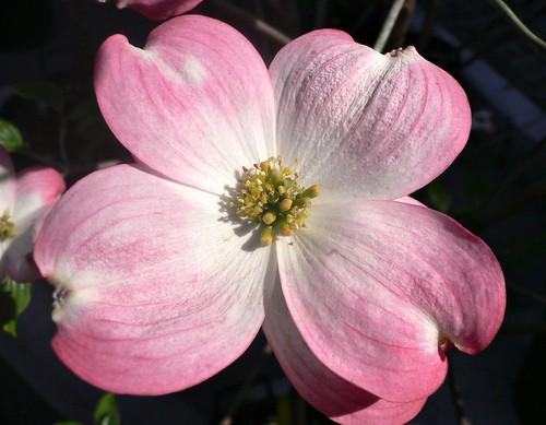 Cornus florida rubra flower pink flowering dogwood a photo on cornus florida rubra flower pink flowering dogwood a photo on flickriver mightylinksfo
