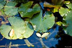 Galleggiare (fallicus_cinutas) Tags: acqua piante giardini ortobotanico