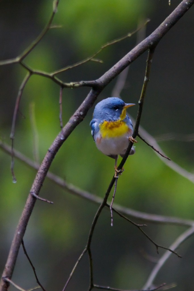 Northern Parula, West Virginia