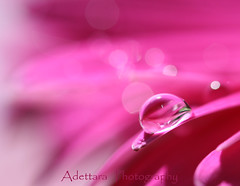 ~Love Wrap In A Bubble~ (Adettara Photography) Tags: pink flower macro love spring waterdrop searchthebest bokeh girly indoor drop tuesday bubble daisy soe blueribbonwinner cherryontop canonef100mmf28macrousm mywinners abigfave canoneosdigitalrebelxti platinumphoto anawesomeshot colorphotoaward infinestyle brillianteyejewel macromarvels betterthangood macrolife theperfectphotographer goldstaraward excapturemacro adettara hppt natureselegantshots ahqmacro vosplusbellesphotos thebestofmimamorsgroups redmatrix sorrylonginvitewillbedeleted flowerfrommybeloved ~lovewrapinabubble~