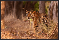 The Royal Stare (The Eternity Photography) Tags: india tourism nature look canon nationalpark wildlife tiger safari stare 2009 sanctuary wildlifesafari digitalphotography goldenlight bengaltiger madhyapradesh kanhatigerreserve kanha felidae centralindia wildlifephotography kanhanationalpark indiantiger savethetiger pantheratigristigris maletiger kisli royalbengaltiger kanhawildlifesanctuary santanubanik theeternity pantheratigrisbengalensis tigerinthewild httpwwwfrozenforeternitycomimagesindexphp     royalstare kanhameadow shravantal sravantal wwwfrozenforeternitycom