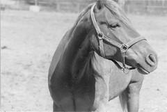 Sto (Magnus Bergström) Tags: blackandwhite bw horse white black film analog 35mm canon geotagged blackwhite sweden ae1 135 canonae1 geotag 2009 kodaktmax400 värmland ekshärad hagfors 400tmy