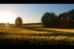 may (Roland Polczer - www.rolandpolczer.de) Tags: trees sunset field canon germany lights wheat ear nrw 1740l 40d