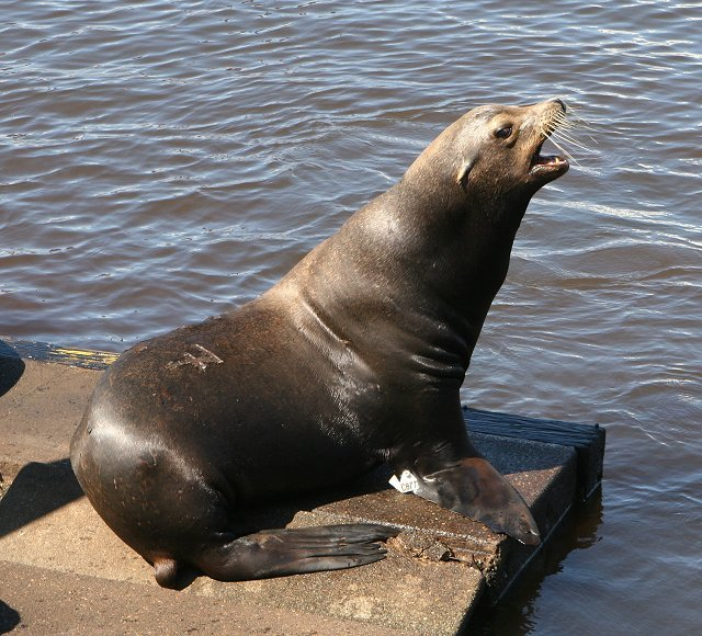 Sea Lion 1 - King of the dock