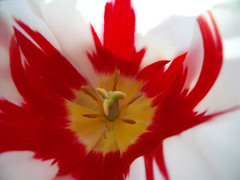 (SofiDofi) Tags: red white flower macro nature beautiful yellow outdoors colorful may tulip ise summer09 vestvoldlia