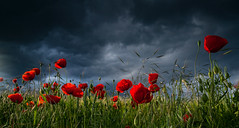 Revelation of Light (lichtmaedel) Tags: poppies mecklenburgvorpommern kerstinenderlein copyrightkerstinenderlein