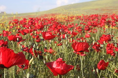 Poppy Sea / Gelincik Deryas (Senol Demir) Tags: red flower nature turkey spring trkiye poppy batman bahar iek gelincik krmz tabiat kr wonderfulworldofflowers