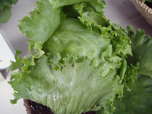 Iceberg Lettuce from Wayward Seed Farm