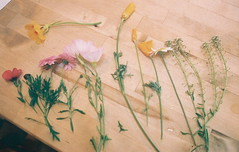 picking wildflowers (see light) Tags: from school wild film 35mm garden poppies wildflowers not