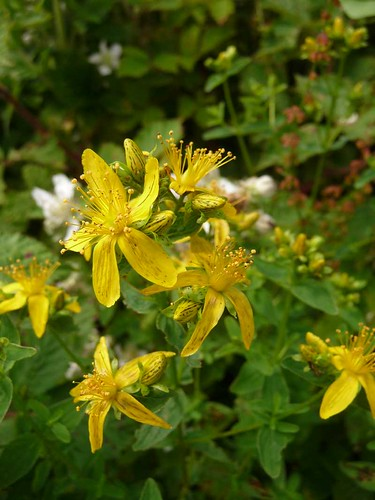 small-st.johns-wort-post-coed-hedgerow-27.6.09-no5