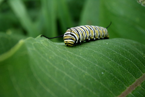 Attleson Farm: Monarch Caterpiller