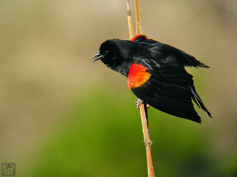 Red-winged Blackbird 04101-9