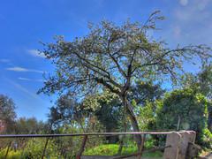 Cherry Tree (Mirio2010) Tags: flowers italy backlight clouds cherry spring mediterranean sunny genova handheld banister hdr cherrytree springtree arenzano cherryflowers crevari handheldhdr canonsx1