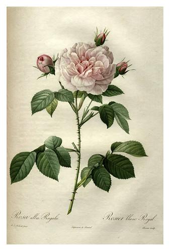 015-Les roses 1817-1824- Pierre-Joseph Redouté
