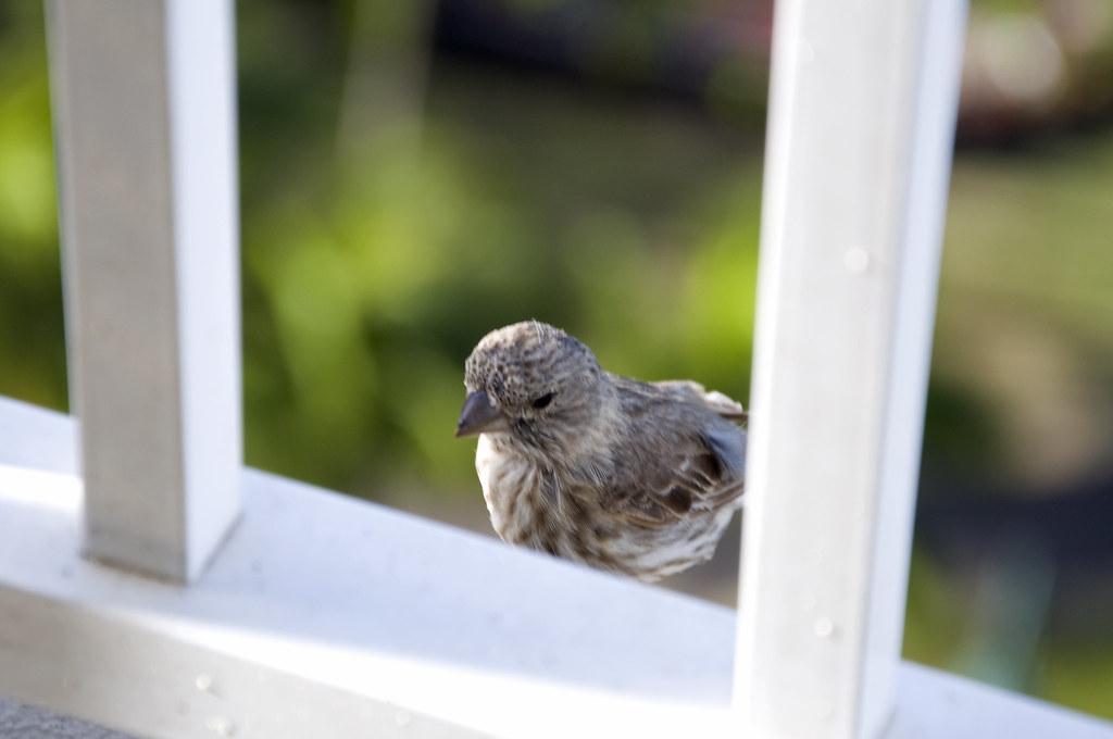 balcony birdy