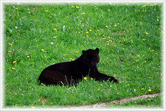 Jaguar (chausinho) Tags: gato felino jaguar cabarcenos parquedelanaturaleza