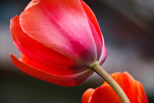 tulips-3860.jpg