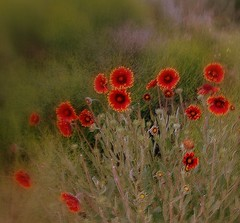 Wildflowers (Tracey Tilson Photography) Tags: 2005 flowers arizona art nature nikon az front explore page wildflowers picnik e5700 sweetshotbabe