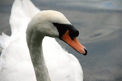 mute swan on Willen Lake (Scorpions and Centaurs) Tags: england white lake bird water swimming swan miltonkeynes buckinghamshire serene fowl gliding avian willen propertyofthecrown