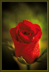 (Rose)  Happy Valentine (davolly59) Tags: pictures flowers gallery quality harmony soe shiningstar tistheseason aphoto blueribbonwinner otw bloomingflowers naturepeople flowersflowersflowers macromania fantasticflower contactgroup flickrcolour visualconcept diamondheart platinumphoto flickrhearts fabulousflowers mycameraneverlies naturesbeauties flowersandcolours citrit amazingamateur theunforgettablepictures platinumheartaward floresymas theperfectphotographer goldstaraward flickrrose macroflowerlovers superbmacroflowers natureselegantshots harmonygallery thegoldenflower mimamorflowers naturespotofgold flickrlovers waterdropsmacros awesomeblossoms 100commentgroup flickrflorescloseupmacros anuniverseofflowers theflowerbasket dragondaggerphoto dragondaggeraward saariys chariotofnature therealgem theartofflowers floralfantasia