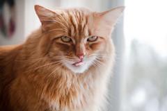 [フリー画像] [動物写真] [哺乳類] [ネコ科] [猫/ネコ] [チャトラ] [あっかんべー!]     [フリー素材]