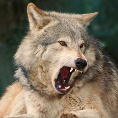 Grey Wolf : Yawning (Gary's Photos!!) Tags: ireland dublin dog nature animal canon mammal photography eos grey zoo photo wolf foto wildlife gray lupus graywolf phoenixpark greywolf canis canislupus canidae 50d digitalcameraclub garywilson aplusphoto goldwildlife thebestofday gnneniyisi flickrlovers