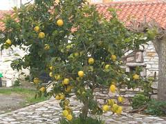 Lemons growing in February (Gregelope) Tags:
