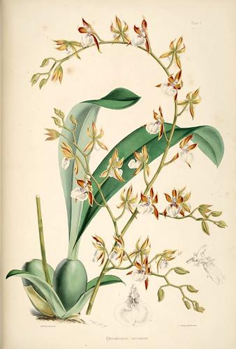 016-Odontoglossum carinatum