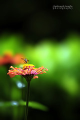 flowerbee (anthonyserafin) Tags: flower nature bee moment capture davao symbiosis anthonyserafin