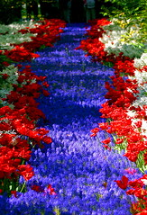 What happened to the red carpet? (kees straver (will be back online soon friends)) Tags: flowers blue red white flower holland netherlands garden spring tulips explore tulip keukenhof lisse mywinners abigfave whohoo platinumheartaward bcod keesstraver interestingess374
