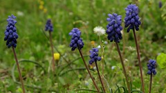 Muscari armeniacum (ozgurum) Tags: muscari dzce