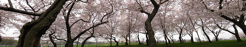 Panorama: Washington Monument Cherry Blossoms