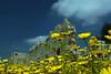 Antipatris daisies