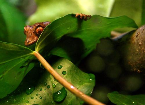 Satanic Leaf-Tailed Gecko!