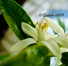 Lemon Flower (Rashdi) Tags: flower lemon karachi rashdi dscw55
