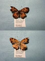 NW44-1 Phyciodes tharos tharos (nymsysgro) Tags: unitedstatesofamerica phyciodes tharos nymphalidae nymphalinae melitaeini phyciodina