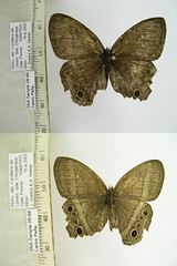 Yphthimoides maepius