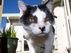 100_5767 (braylinda) Tags: portrait animal cat meow patch patches mew pusscat smitten paraparaumu