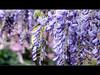Wisteria - HDR (David Gn Photography) Tags: flowers oregon portland hdr wisteria laurelhurstpark photomatix awesomeblossoms canonpowershotsx1is