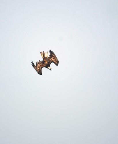 osprey stoop