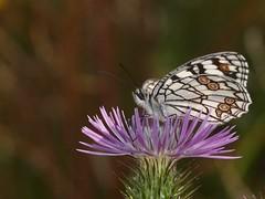 Melanargia ines (diegocon1964) Tags: ines lepidoptera nymphalidae satyrinae papilionoidea melanargia melanargiaines melanargiini