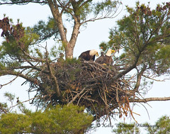Bald Headed Eagle Family (Kelly Walkotten) Tags: eaglesnest eagles babyeagles
