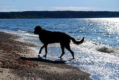 Aiax on the beach again (*camilla*c) Tags: blue sea sky dog beach water walking sand sweden may hound gotland sighthound 2009 irishwolfhound aiax ireviken