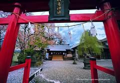 Sakura Shrine (Hirosaki Japan).  Glenn Waters.  (Explored) (Glenn Waters in Japan.) Tags: japan shrine falling aomori  sakura cherryblossoms hirosaki  jinja  explored expolre  nikond700  glennwaters nikkorafs1424mmf28 travelsofhomerodyssey