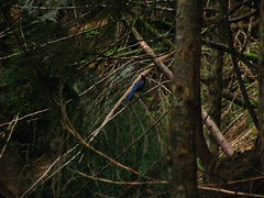 Blue Jay -- Stellar Jay?