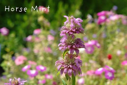 Horse Mint