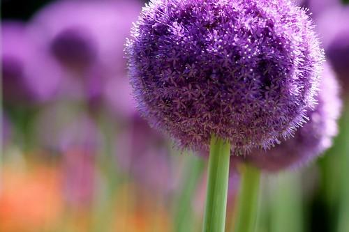 アリウムギガンティウム/Allium giganteum
